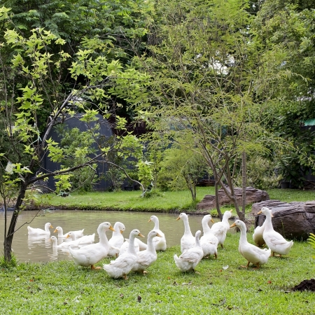 cackle: A flock of ducks and geese in a park Stock Photo