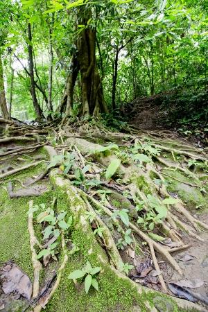 namtok: big tree roots and river in tropical rainforest,Namtok Huai Mae Khami, thailand