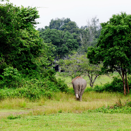 backing: elephant is backing to the sparse forest