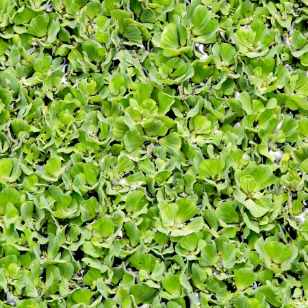 duckweed: Duckweed covered on the water surface