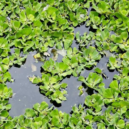물 표면에 덮여 개구리밥 스톡 콘텐츠