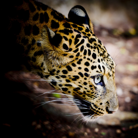 Close up portrait of leopard with intense eyes Stock Photo