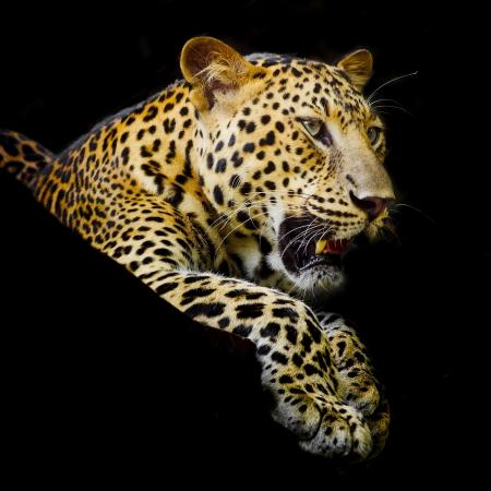 leopard cat: Leopard portrait