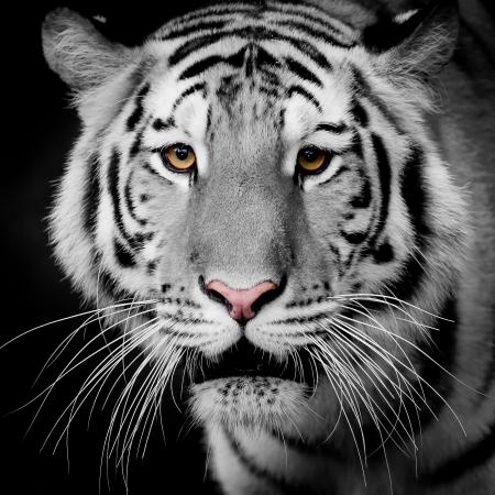 aislado en blanco: Cerrar Tiger Up