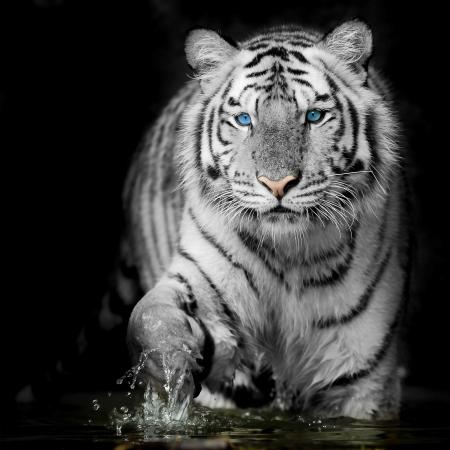 black and white panther: Black   White Tiger