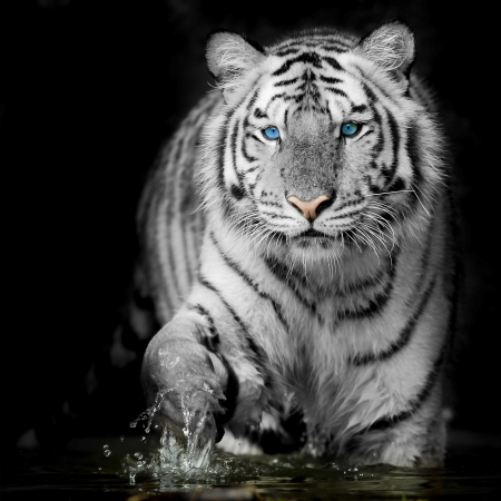 tigre blanc: Black White Tiger