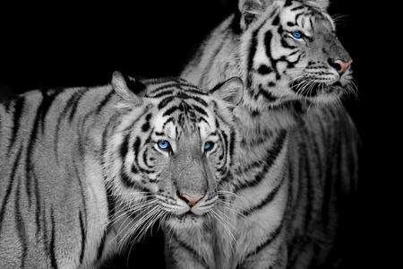 Black   White of two tigers Stockfoto