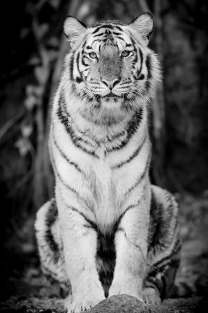 tigre blanc: Black White Tiger