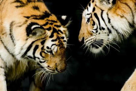 panthera tigris sumatrae: Two tigers in their natural environment