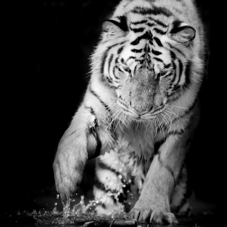 Black White Tiger Banque d'images - 23966094