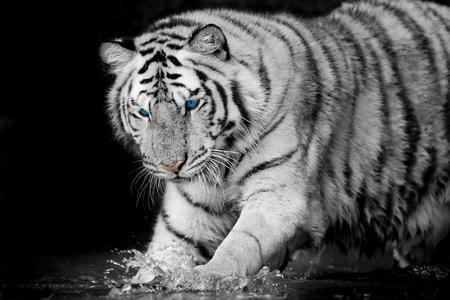 panthera tigris sumatrae: white tiger Stock Photo