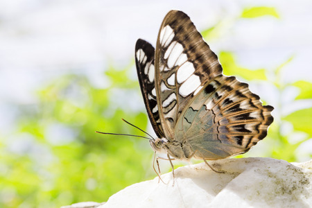 nectaring: Close-up view of a beautiful butterfly
