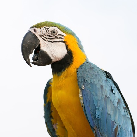ararauna: Azul y amarillo Guacamayo Ara ararauna, tambi�n conocido como el guacamayo azul y oro