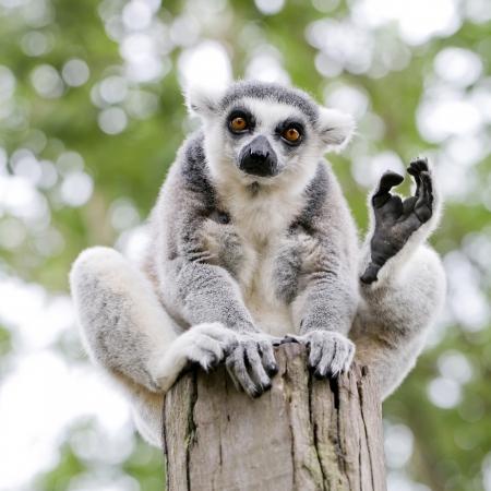Katta Lemur Catta