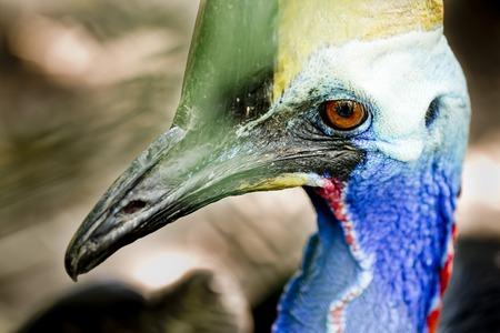 cassowary: Portrait of cassowary, Casuarius casuarius, Queensland,