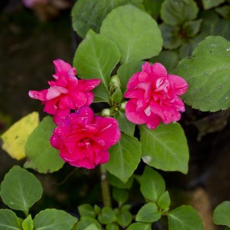 Pink flower  in a flower pot photo