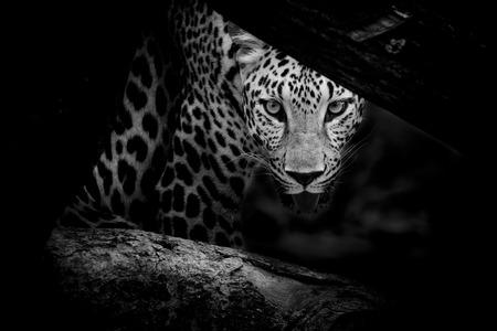 Leopard portrait B W