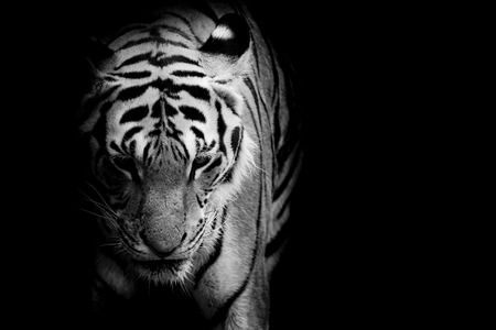 black and white panther: Tiger