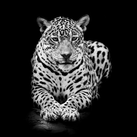 Leopard Portrait Lizenzfreie Bilder