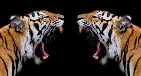 sumatran tiger: Sumatran Tiger Roaring