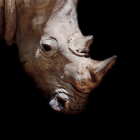 poaching: Black rhinoceros young calf
