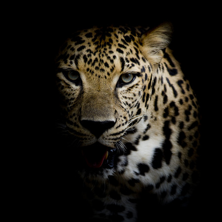 leopard head: close up Leopard Portrait Stock Photo