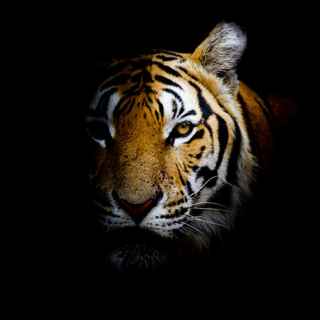 animal eye: Tiger