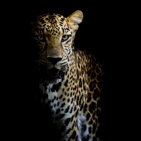 close up Leopard Portrait 스톡 콘텐츠