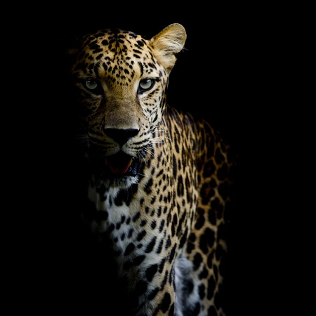 close up Leopard Portrait Stockfoto