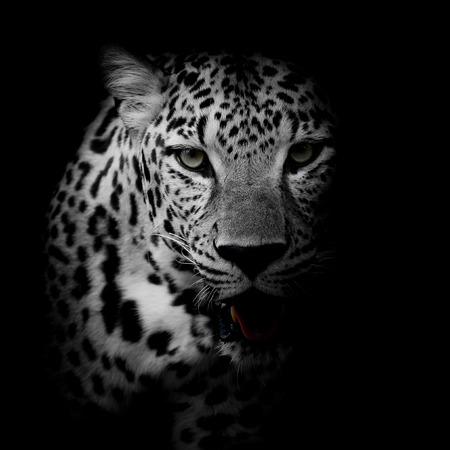blanco y negro: cerca Retrato Leopard