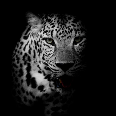 black and white: close up Leopard Portrait Stock Photo