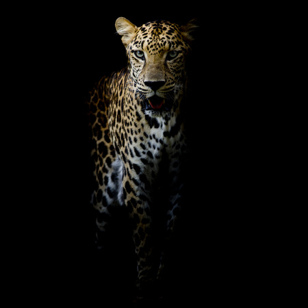 close up Leopard Portrait Reklamní fotografie