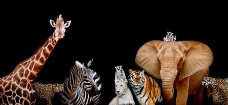 動物のグループは一緒に、黒の背景にテキスト領域、象、シマウマ、ホワイト ライオン、ジャガー、猿、キリン、タイガー使用から動物の範囲でそ