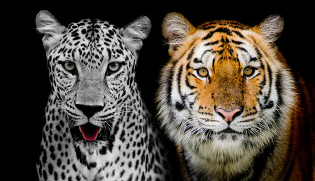 Straight face of Leopard and Tigerr   And you could find more animals in my portfolio