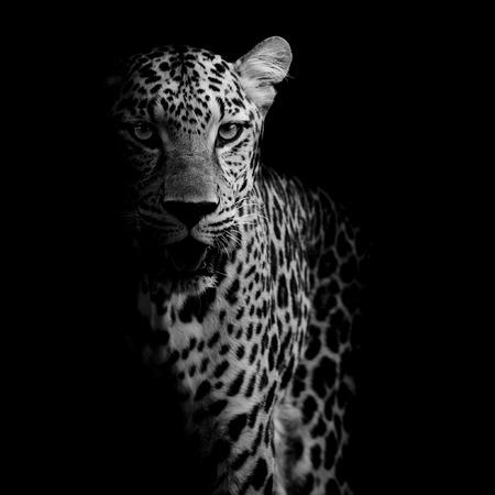 close up Leopard Portrait Stock Photo