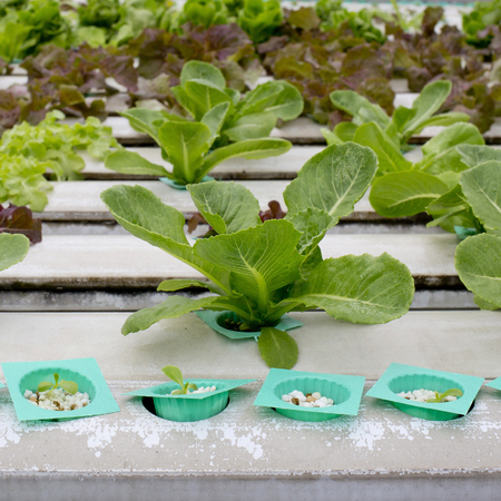 Organic hydroponic vegetable garden in Thailand merket photo