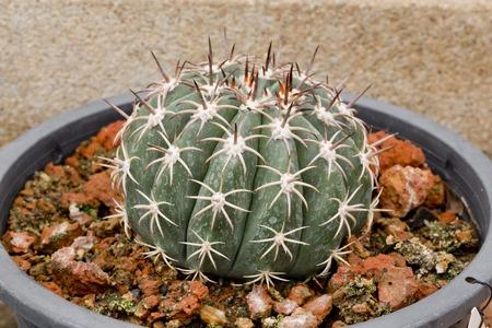 Giant cactus in pot photo