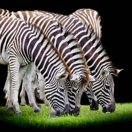 suid afrika: group of zebras