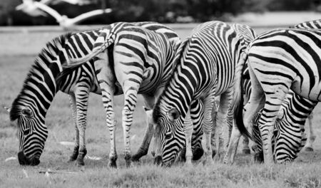 suid: group of zebras