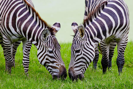 suid afrika: young zebra with mom Stock Photo