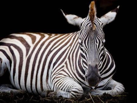 suid afrika: A Headshot of a Burchell