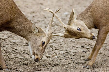 rutting: Young Red Deer males rutting