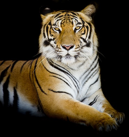 Tijger, portret van een Bengaalse tijger. Stockfoto