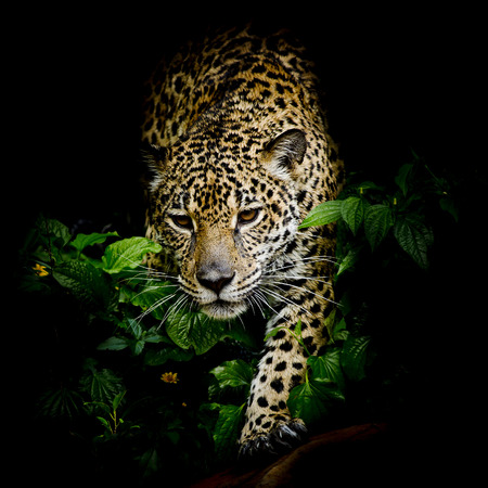 kruger: close up Jaguar Portrait