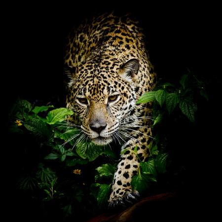 Nahaufnahme Jaguar Portrait Lizenzfreie Bilder