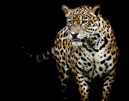 arboles blanco y negro: close up Retrato de Jaguar