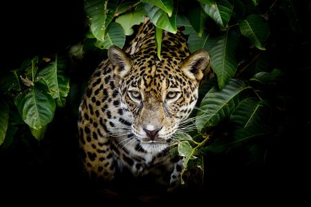 jaguar: Jaguar retrato