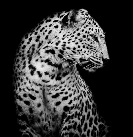 leopard head: black and white side of Leopard Stock Photo
