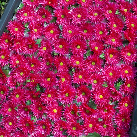 Plenty red natural flowers seamless background photo