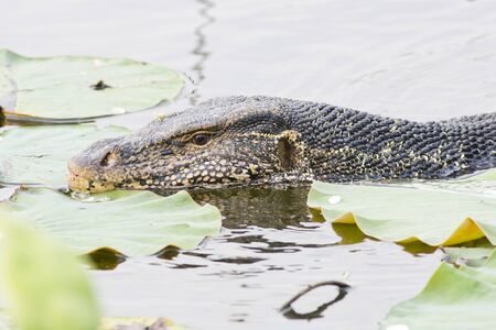 wide  wet: Large monitor lizard in canal Stock Photo